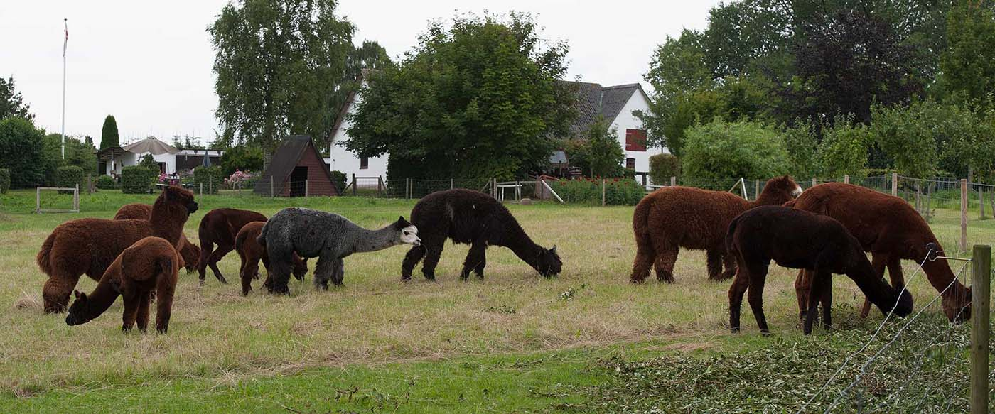 Horselund alpacaer